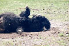 Yellowstone-2008-11