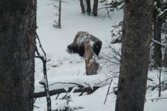 Yellowstone-Winter-2014-11