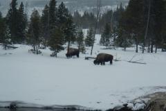 Yellowstone-Winter-2014-16