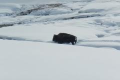Yellowstone-Winter-2014-27