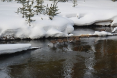 Yellowstone-Winter-2014-48